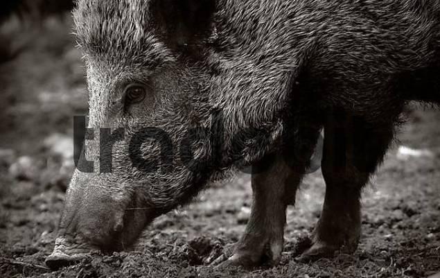 wild pork watercress ebook free download